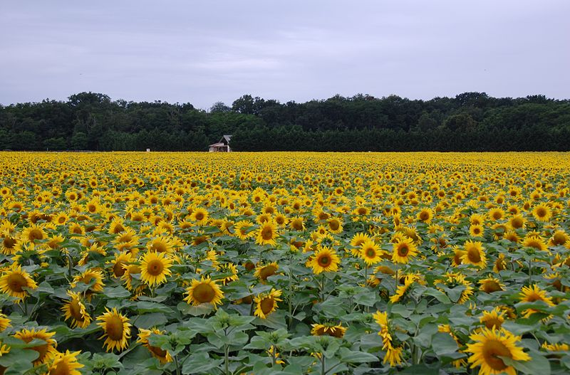 Field of sunflowers, Loire Valley, France