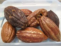 Cacao pods, Hershey-Ellen Perlman