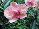 Orchid, Opryland-Ellen Perlman