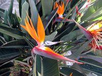 0014-Birds of paradise, Guadalajara-Ellen Perlman