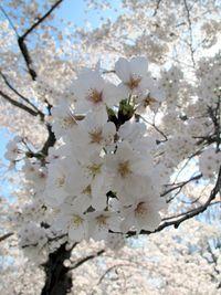 Cherry blossoms-Ellen Perlman
