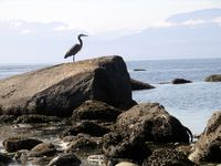Heron on the rocks, Sooke, Vancouver Island-Ellen Perlman