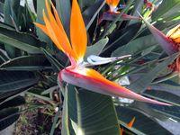 IMG_0013-Bird of paradise, Guadalajara-Ellen Perlman