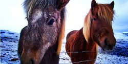 Icelandic horses, solo travel, boldlygosolo from Why Go Iceland