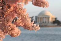Cherry blossoms at jefferson
