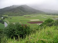 Taro fields, Kauai, Hawaii, boldlygosolo