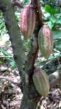 IMG_0848-cocoa pods on trees