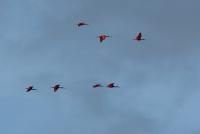 Scarlet ibis, Trinidad, boldlygosolo
