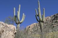 Two_saguaro_cactiellen_perlman