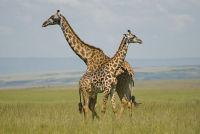 800pxgiraffes_in_masai_marapaul_man