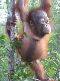Young_orangutanjohn_trybus