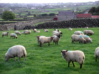 Sheep_northern_irelandellen_perlman